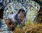 Hoary Marmot in the Tombstones by Yukondick