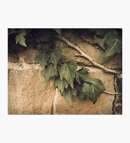 Ivy Photographic Print