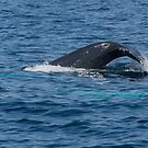 Whale Raising Its Tail, NL, Canada by Gerda Grice