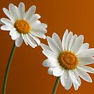 Daisies on orange by Purrnickerty