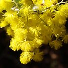 Serpentine Acacia by kalaryder