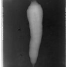 "Carrot (from ""Iconography of Radioactivity"" series) by Krolikowski Art"