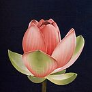 Pink Lotus Flower Opening  by Jarrod Hall Art