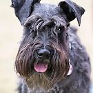 Black Miniature Schnauzer by Geoff Carpenter