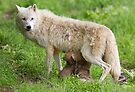 Arctic wolf feeding pups by Jim Cumming