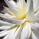 white dahlia by geot