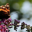 A weathered Red AdmirelButterfly on Butterfly Bush by Linda Gleisser