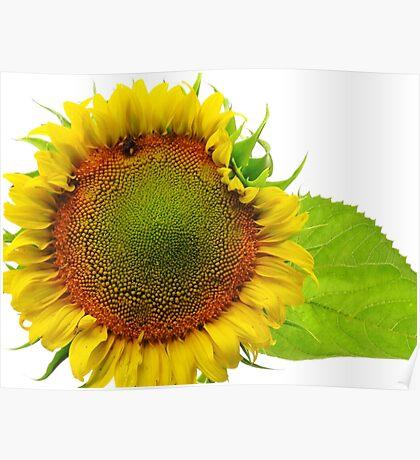Jane's Sunflower Poster
