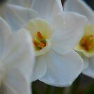Daffodil 1 by Jack Bridges