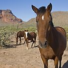 Wild Desert Horses by Sue  Cullumber