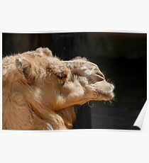 Close up of a head of a camel on black background Poster