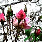 Pink roses against a stone wall by Shulie1