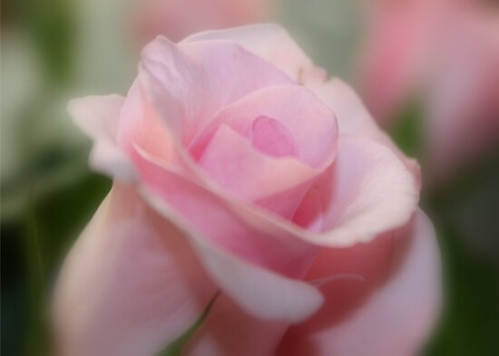 Tranquil Rose by AnnDixon