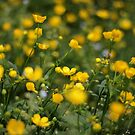 Buttercups, As You Wish by photolodico