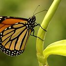 butterfly by Pat Heddles