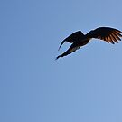 Black cockatoo by Jack Bridges