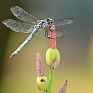 Resting Dragonfly  by Cody  VanDyke