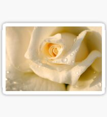 Close up of a beautiful and perfect white rose Sticker