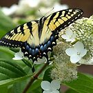 Yellow Tiger Swallowtail Postcards/Greeting Cards by Elisabeth and Barry King™ by BE2gether
