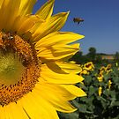 Sunflower and Bees by jodi payne
