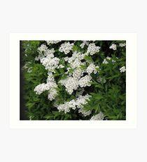 Pretty White Spirea Blossoms Art Print
