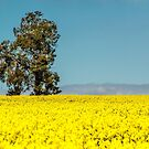 The Tree in the Canola Field by David J Baster