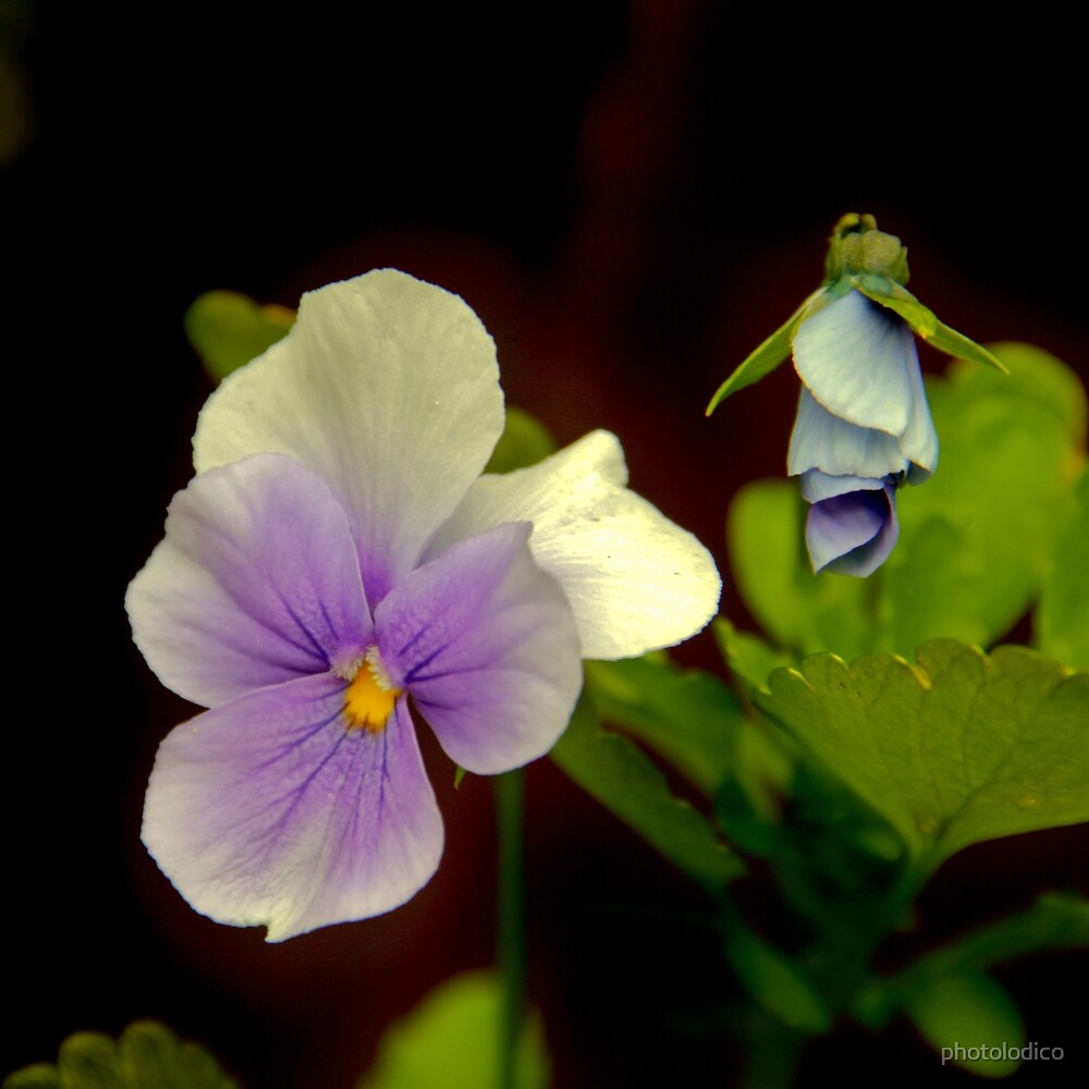 This Viola is no pansy.  by photolodico