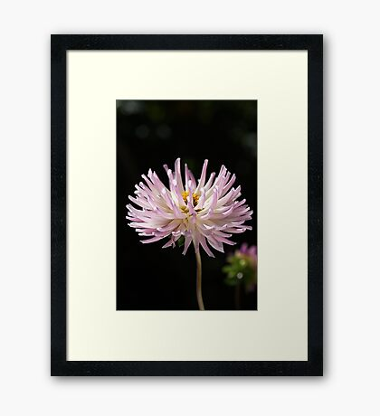 Soft Pink Dahlia Delight Framed Print