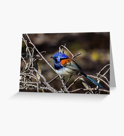 Blue-Breasted Fairy Wren Greeting Card