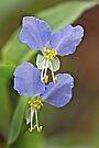 Asiatic Dayflower Wildflower - Commelina communis by MotherNature