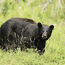 Black bear in a green field by Josef Pittner