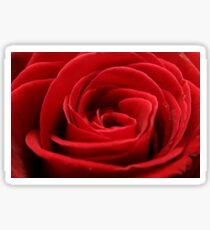 Close up of a beautiful red rose Sticker