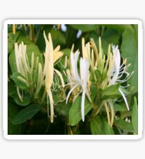 Closeup Of Lonicera European Honeysuckle Flower Sticker
