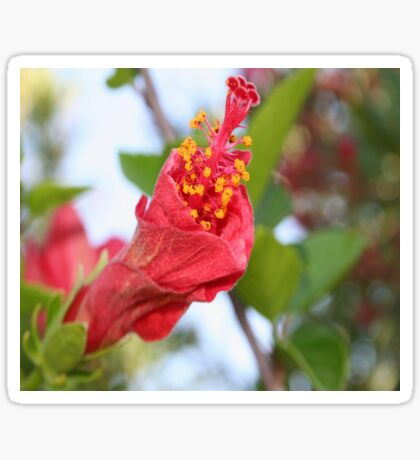 Curled Petals of A Red Hibiscus Bud Sticker