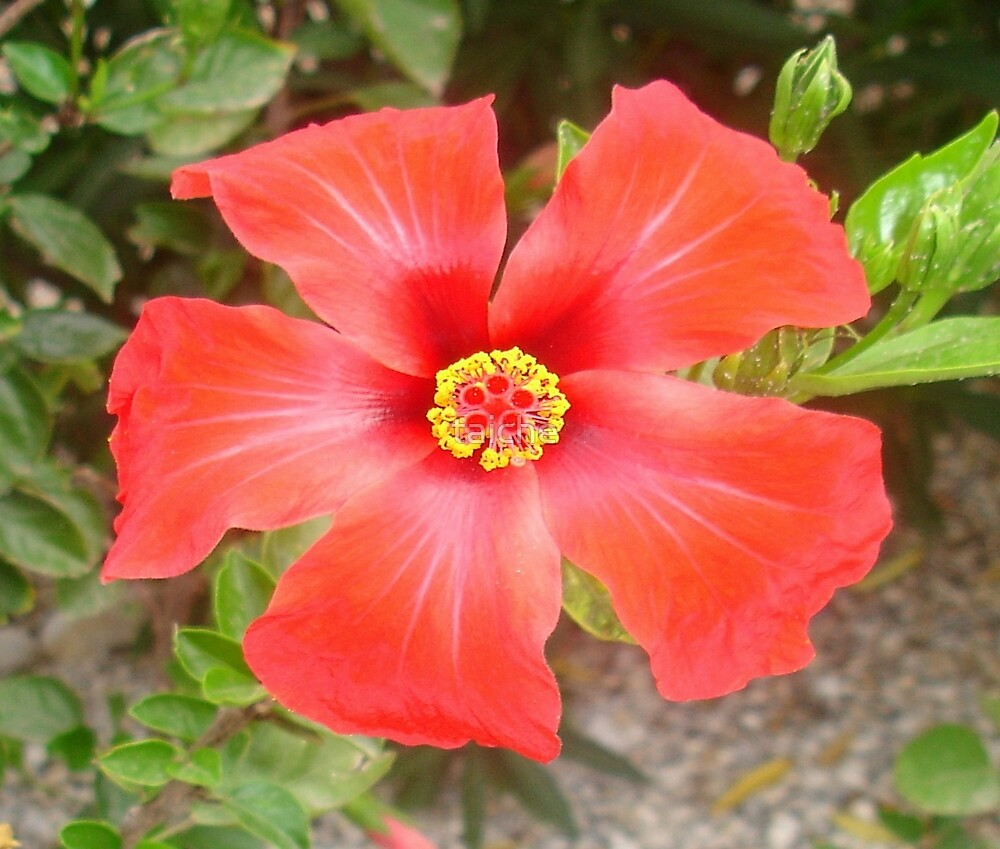 Head On Shot of a Red Tropical Hibiscus Flower by taiche