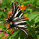 Swallowtail Butterfly by Caren