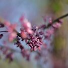 Red Bud Magic 4 by photolodico