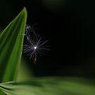 Dandelion seed by turniptowers