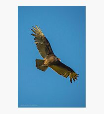 Cathartes Aura - Turkey Vulture In Flight | Orient Point, New York Photographic Print
