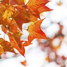 Red maple leaves in autumn by kawing921