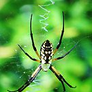 Spider by Alberto  DeJesus