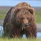 Alaskan Brown Brown Bear Sow by Anthony Goldman