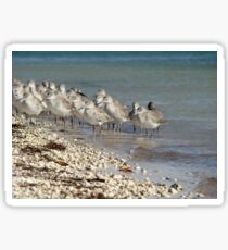 A Flock of Willets Sticker