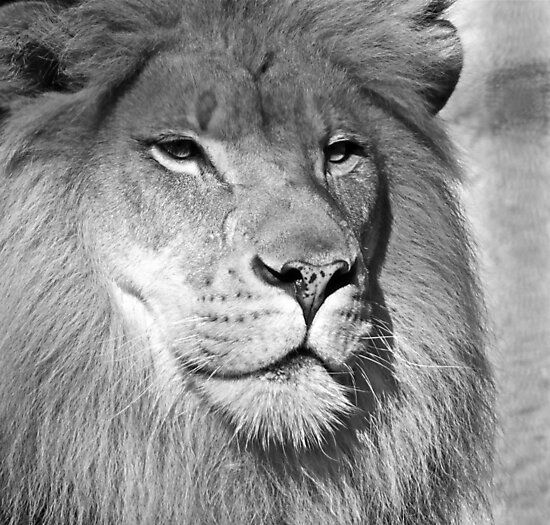 Lion (1) by Hayley Musson