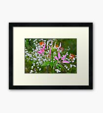 Spider Flower Framed Print