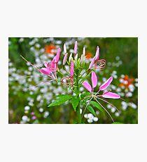 Spider Flower Photographic Print