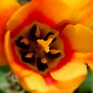 Open Tulip   ^ by ctheworld