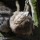 Tawny frogmouth by Jack Bridges