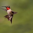 Male Ruby Throat Hummingbird by barnsis