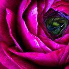 RANUNCULOUS by Bloom by Sam Wales